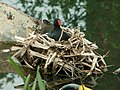 Close up of Moorhen's nest - geograph.org.uk - 422730.jpg