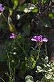 Coast rock cress flower 2.jpg
