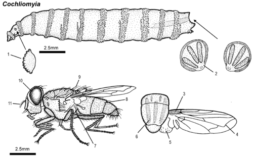Parasitic insects mites and ticks genera of medical and veterinary cochliomyia larva adultg ccuart Image collections