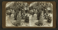 Cocoanut (Coconut) palms, Florida, by American Stereoscopic Company.png