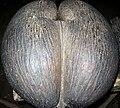Cocofesse ou coco de mer (Praslin).jpg