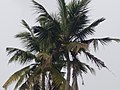 Coconut Tree .jpg