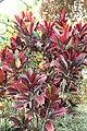 Codiaeum variegatum 58zz.jpg