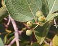 Coelospermum fruit 2.jpg