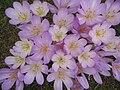 Colchicum byzantinum clump.jpg