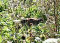 Colinus virginianus North Falmouth MA.jpg
