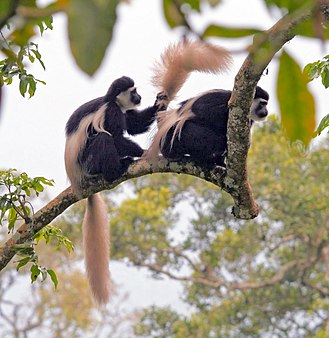 Mantled guereza - Social grooming or allogrooming mainly occurs between females and is an important social interaction in mantled guereza groups.