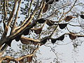 Colony of bees on a tree 02.JPG