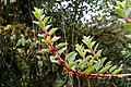 Columnea angustata (Gesneriaceae) (29604785541).jpg