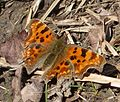 Comma... first of the year for me - Flickr - gailhampshire.jpg