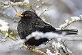 Common Blackbird by Ben Fredericson.jpg
