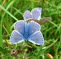 Common Blues mating. Polyommatus icarus - Flickr - gailhampshire (1).jpg