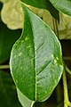 Common Hoptree (Ptelea trifoliata) Leaf - Guelph, Ontario.jpg