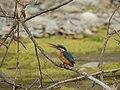 Common Kingfisher DSCN3819 05.jpg