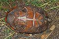 Common Musk Turtle - Sternotheus odoratus, McKee Beshers WMA, Poolesville, Maryland.jpg