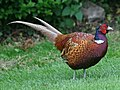 Common Pheasant RWD2.jpg