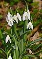 Common Snowdrops (Galanthus nivalis) (25742401103).jpg