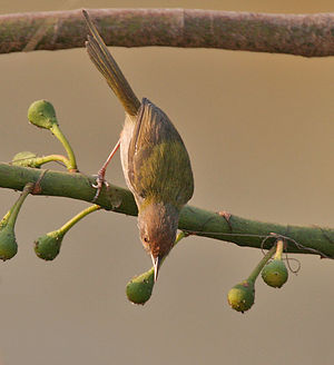 Gleaning (birds) - Common tailorbird (Orthotomus sutorius) gleaning among flower buds.