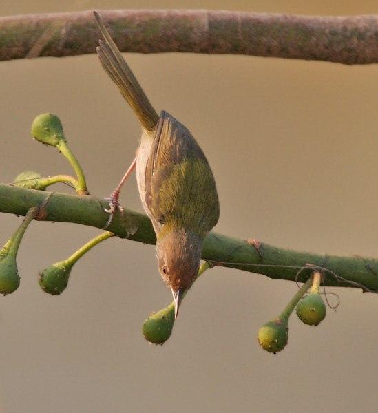 Common Tailorbird (Orthotomus sutorius) gleaning insects from Kapok (Ceiba pentandra) flower buds in Kolkata W IMG 3802