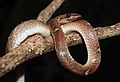 Common Wolf Snake Lycodon aulicus by Dr. Raju Kasambe DSCN7762 (31).jpg