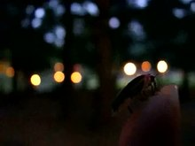 File:Common eastern firefly (Photinus pyralis) in USA.webm