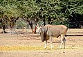 Common eland, Namibia.jpg