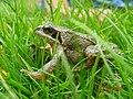 Common frog (15398070854).jpg