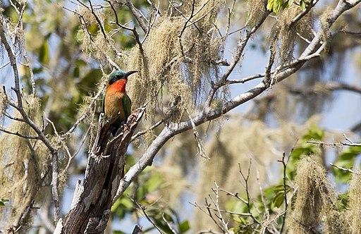 Comoe bird