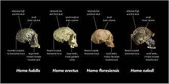 Homo naledi - Comparison of skull features of Homo naledi and other early human species