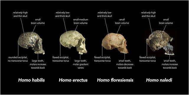 Comparación de los cráneos del Homo naledi con otras especies