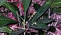 Conchocarpus longifolius (A. St.-Hil.) Kallunki & Pirani (8722655437).jpg