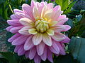 Concours International du Dahlia 2012 Parc Floral Paris 18.JPG