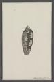 Conus striatus - - Print - Iconographia Zoologica - Special Collections University of Amsterdam - UBAINV0274 085 10 0065.tif