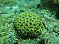 Corail non identifié Maldives.JPG