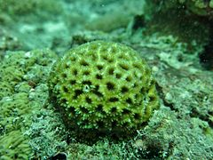 An unidentified coral