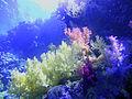 Coralli molli (Nephtheidae) 331.JPG