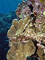 Coralline algae and fleshy crusts among corals. The green is probably corallines killed by disease. (6158474391).jpg