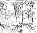 Corteza cerebral.jpg