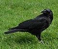 Corvus caurinus quinet.jpg