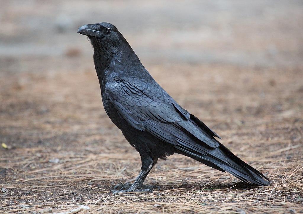 Akitski the Raven Pet 1024px-Corvus_corax_%28Common_Raven%29%2C_Yosemite_NP%2C_CA%2C_US_-_Diliff