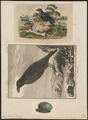 Corvus corax - 1700-1880 - Print - Iconographia Zoologica - Special Collections University of Amsterdam - UBA01 IZ15700203.tif