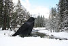 Corvus corax and half dome.jpg