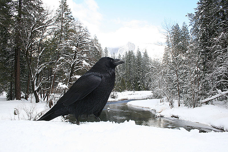 Файл:Corvus corax and half dome.jpg