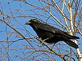 Corvus corone, Carrion Crow, Rabenkrähe 02.jpg