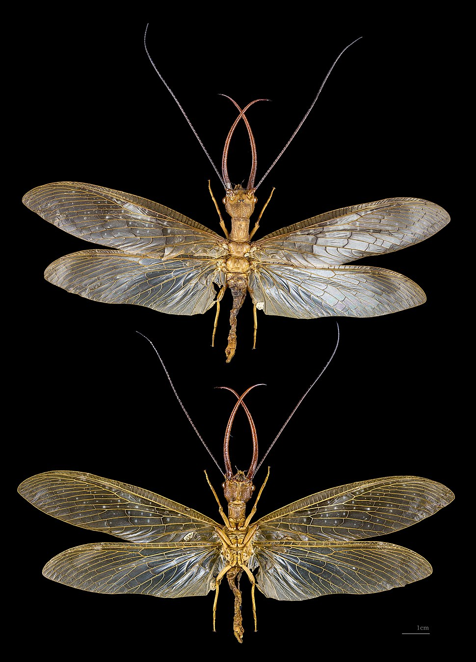 Corydalus cornutus MHNT male