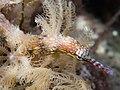 Corythoichthys sp. (35635870726).jpg