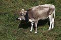 Cow-IMG 5395.JPG