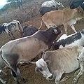 Cows - 2.jpg
