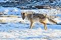 Coyote in Snow (24212335391).jpg