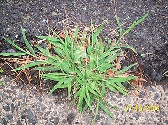Paniceae - Image: Crabgrass
